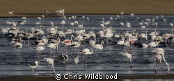 Greater and lesser flamingos in the Walvis Bay lagoon. by Chris Wildblood 
